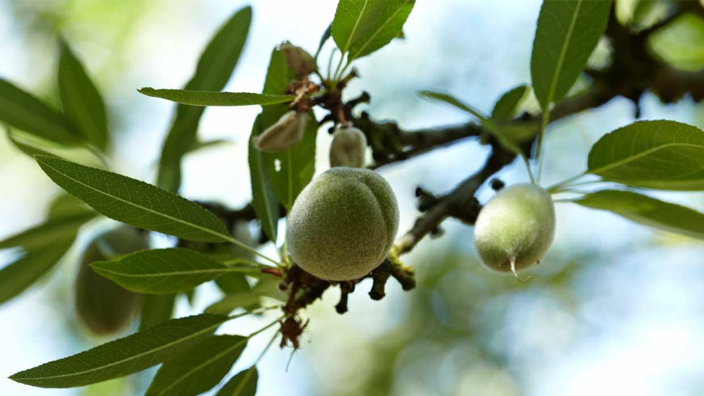 Little nutlet